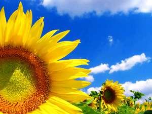 """Оригинал схемы вышивки  """"Голубые холмы """".  Голубые холмы, поле, цветы, подсолнухи."""